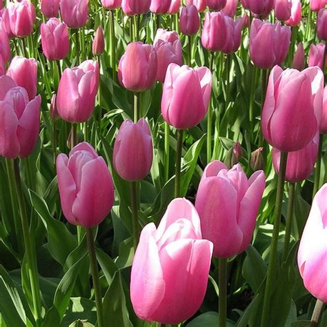 meaning of tulips monruadee rung