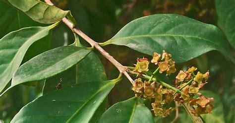 Obat Herbal Haid Supaya Lancar tanaman herbal untuk penyakit hipertensi