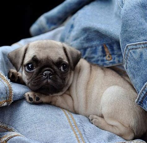 i want a pug so bad 1000 images about pugs on chugs and pet parade