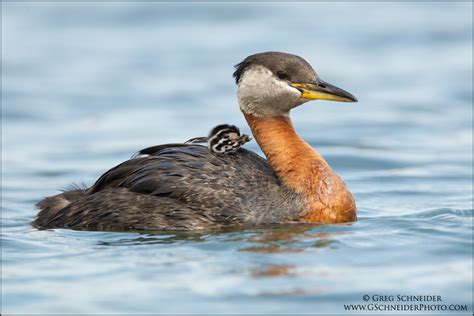 Red-necked Grebe chick riding on parent's back
