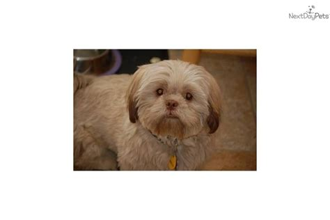 shih tzu puppies arizona puppies for sale from bells arizona shih tzu nextdaypets