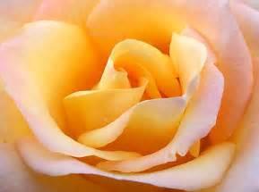 File Close Up Yellow Rose Jpg Wikipedia