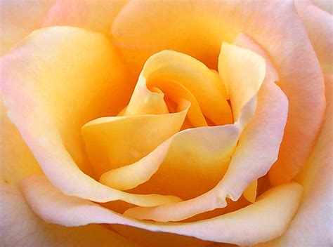 colors close to yellow file close up yellow rose jpg wikipedia