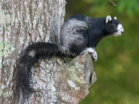 Search In Carolina Fox Squirrel Carolina Images