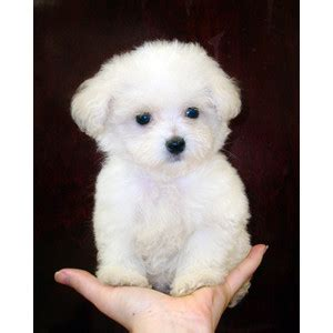 dogs for sale cumbria toy for dog toy for dog white toy poodle puppies www pixshark com images
