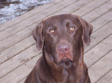 labrador puppies wi wisconsin labradors labrador retriever stud dogs