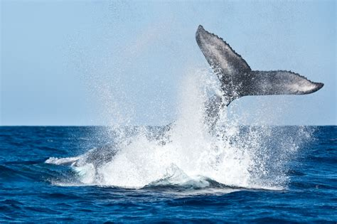 Whale Overall biologists want to use drones to study whale snot national news us news