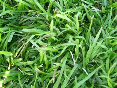 santa anna couch seed lm berea lawn grass seed seeds for africa