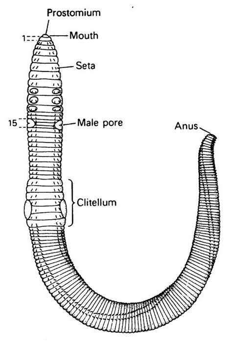 annelida diagram annelida roundworm diagram phylum annelida