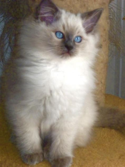ragdoll puppies ragdoll kitten beautiful cats 2