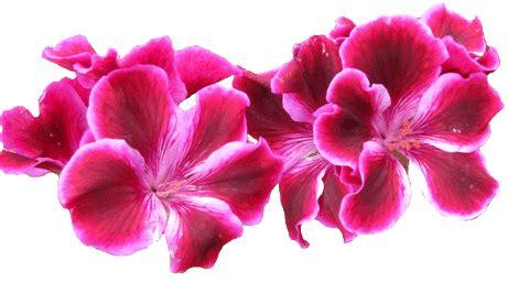 pelargonium clipart, lge 13 cm wide | this clipart style