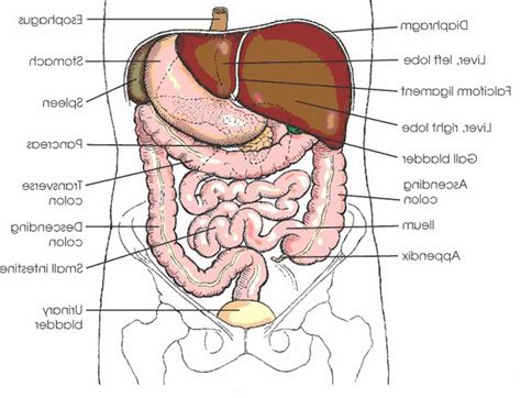 Organs Diagram