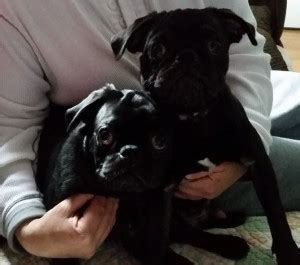 pugs needing rehoming pug rehoming success story bugga and boo find my pet a home