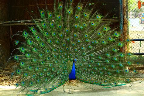 National Bird Of India Outline by Pea Fowl Peacock The National Bird Of India I Finally Flickr