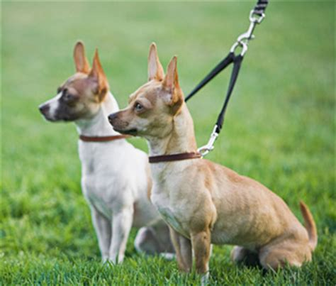 how to two dogs to walk on a leash how do i go about walking two dogs at once