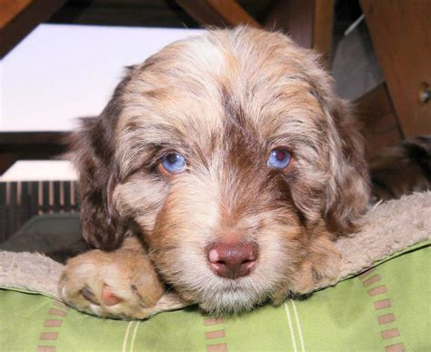 aussiedoodle puppies for sale nc mini labradoodle f1 for sale in pa breeds picture