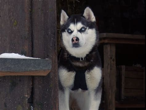 from snow dogs from snow dogs siberian huskies photo 32170986 fanpop