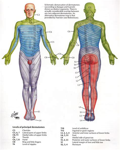 dermatomes map dermatome health physical therapy and trigger points