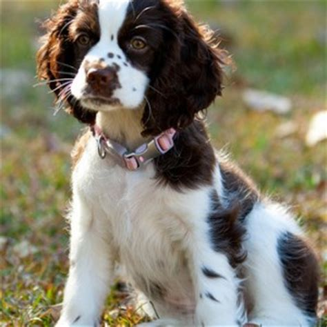cockalier dog breed | facts and information
