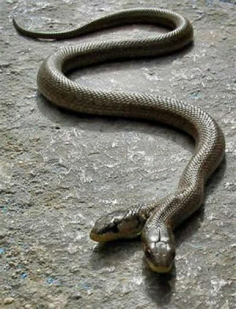 two headed two headed snakes strange creatures