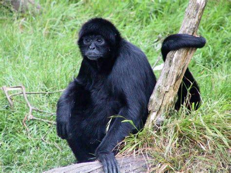 black monkey black spider monkey our world endangered animals
