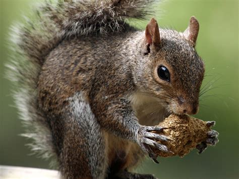 28 best keep squirrels from bulbs squirrels eat almost 14 000 tulip bulbs in windsor park