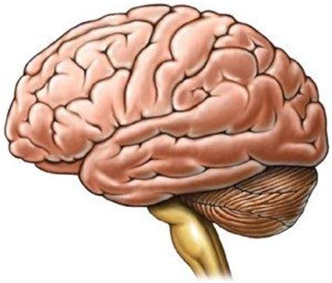 imagenes de el cerebro humano definici 243 n de cerebro 187 concepto en definici 243 n abc