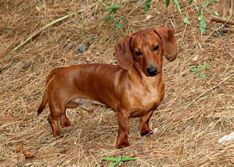 free dachshund puppies beautiful dachshund photos free images