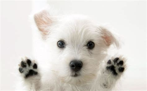 49 cute dog wallpapers top ranked cute dog wallpapers pc lkz484 maltese my doggy rocks