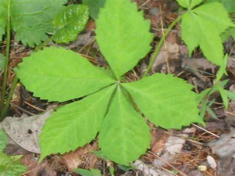 Seven Leave Ginseng image gallery ginseng leaf