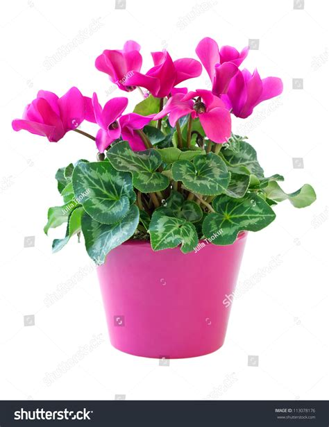 Flower And Pot Pink Cyclamen In A Flower Pot Isolated On A White