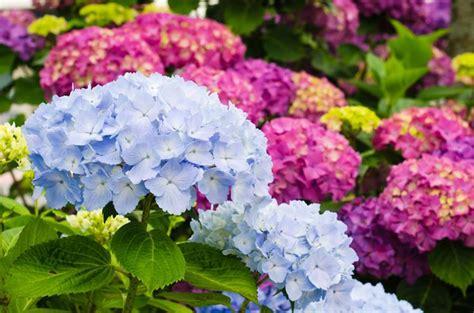 fiori ortensie ortensie coltivazione piante da giardino coltivare