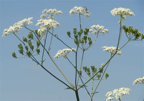 1000 images about cowparsley on pinterest blue
