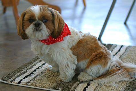 shih tzu feeding guide fruits and veggies you can give to your shih tzu