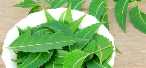 pug hair fall amazing benefits of neem leaves for skin and hair