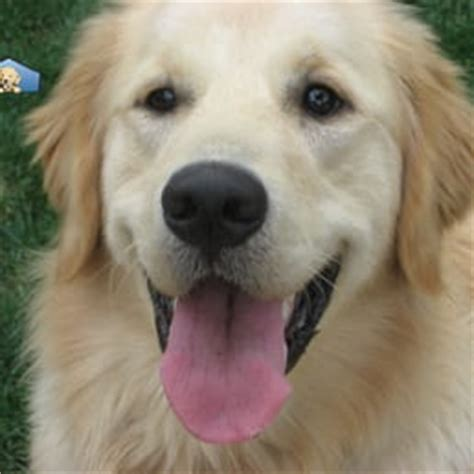 golden retriever rescue of greater los angeles golden retriever club of greater los angeles rescue pet