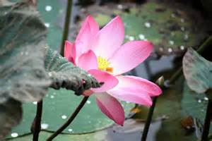 Crimson Lotus Flower Lotus Flower In Blossom Free Stock Photo