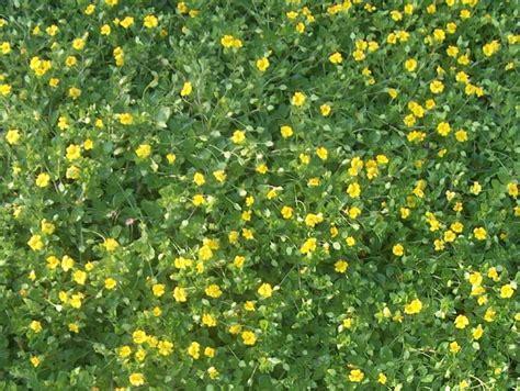 online plant guide mecardonia goldflake goldflake
