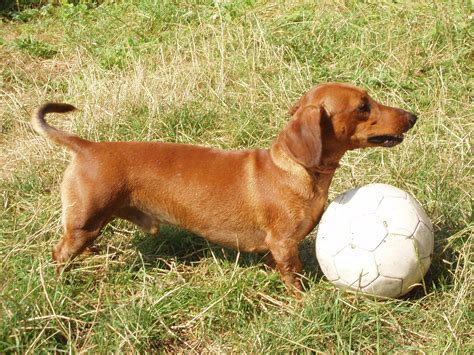 Haired Dachshund Shedding by Haired Dachshund Facts Pictures Price And