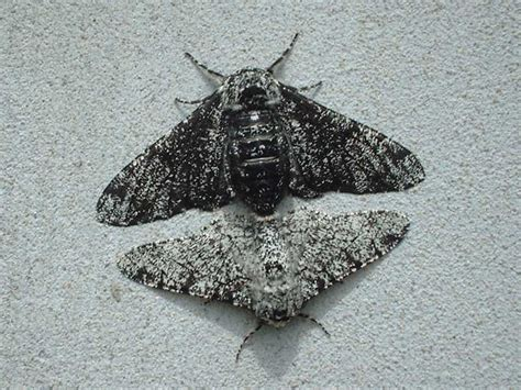 Peppered Moth peppered moth biston betularia ukmoths