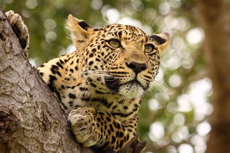 how much do jaguars cost here s how much hunters will pay to shoot the