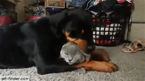 how much do rottweilers eat rottweiler the cat so much gif finder find and animated gifs