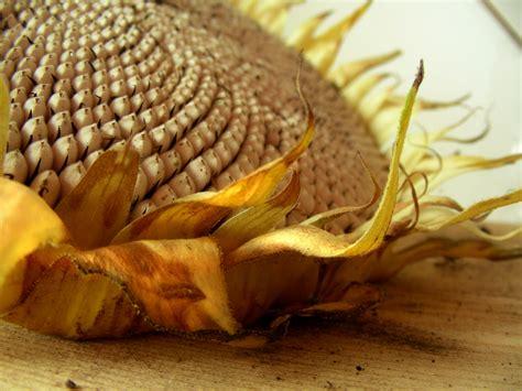 gambar bunga matahari  biji bijian gambar bunga