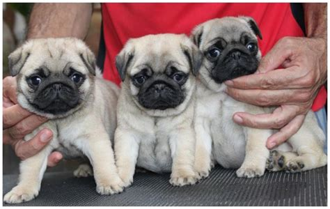cost of a pug pugpugpug how much would you say a pug from a reputable breeder would cost