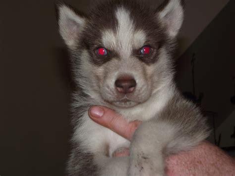 siberian husky puppies price siberian husky puppies reduced price durham county durham pets4homes