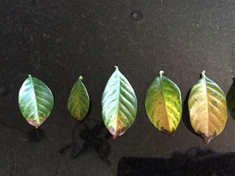 gardenia leaf tellowing   expert