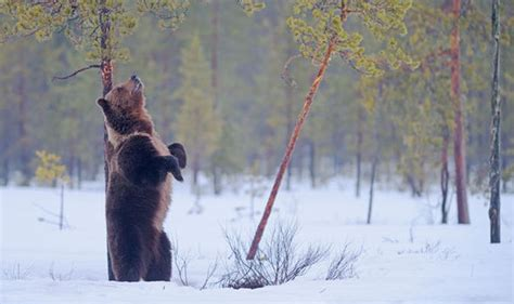 forget winter just hibernate in one of these cozy homes watch as brown bears in finland wake up from hibernation