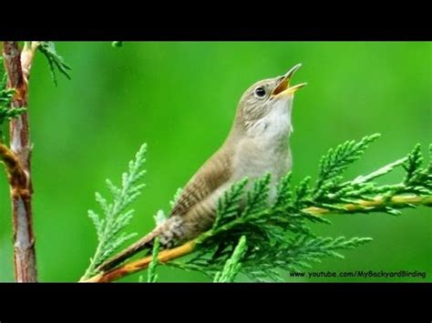 house wren song youtube