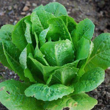 lettuce romaine parris island cos certified organic