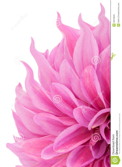 pink dahlia flower with curly petals stock photos image 26618643
